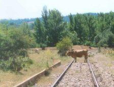 Un tren a lovit o … vacă! Pe calea ferată de la București la Constanța!