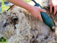 Zeci de mii de oameni s-au înscris la ajutorul pentru comercializarea lânii de oi