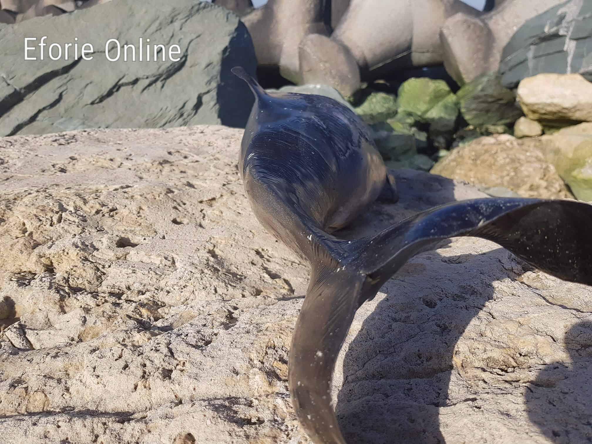 delfin esuat eforie_5687