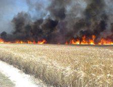 10 hectare de orz ard în județul Constanța