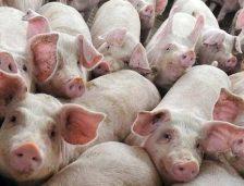 Din cauza pestei porcine, se interzice organizarea de târguri în locații neautorizate