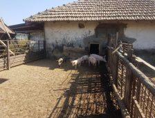 Un nou focar de pestă porcină, în localitatea Horia! Deja s-au omorât porcii din 37 de sate